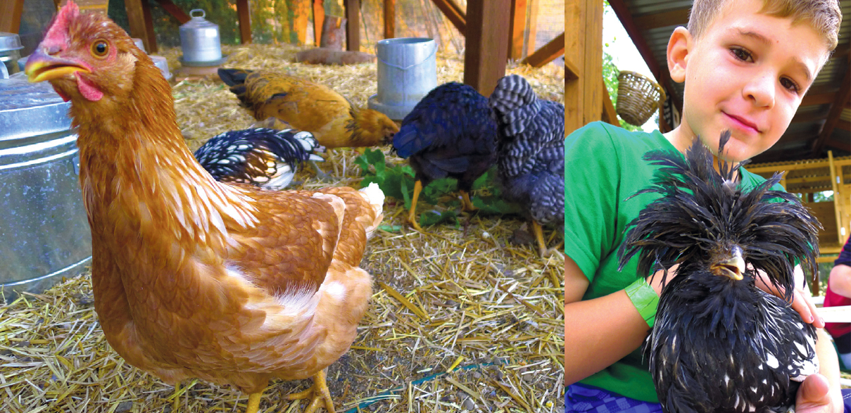 Get the Low-Down on Raising Chickens | Edible Silicon Valley