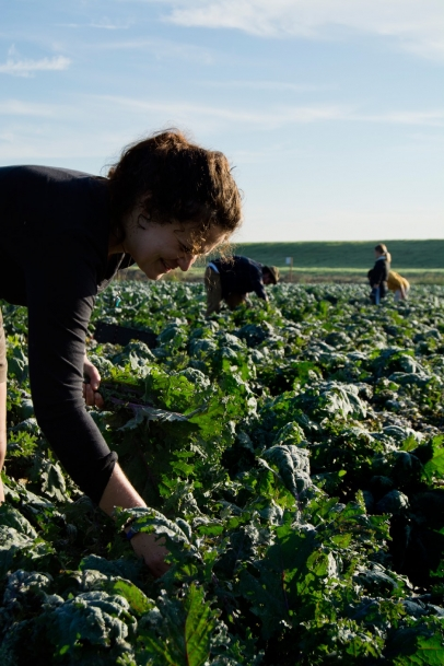 California farmer picking kale