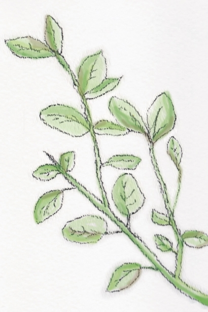 oregano graphic