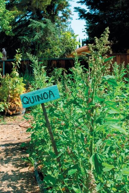 quinoa grown in a backyard garden
